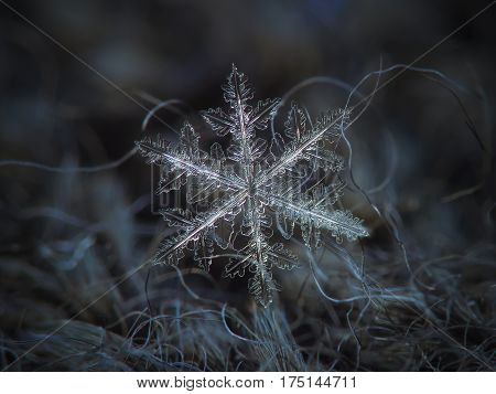 Macro photo of real snowflake: large snow crystal of fernlike dendrite type with long, massive arms, many side branches and numerous icy