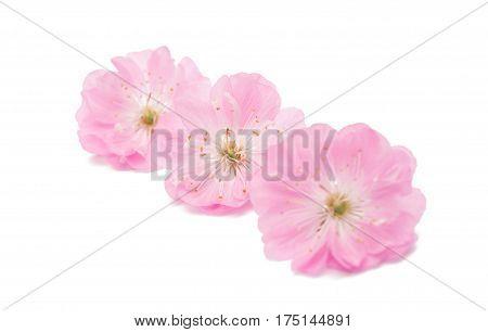 sakura Spring flower isolated on white background