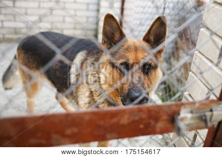 German Shepherd watches attentively out of the cage