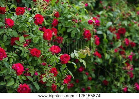 Red rose on a branch with green leaves. Beautiful summer background. Red rose flower. Rose background
