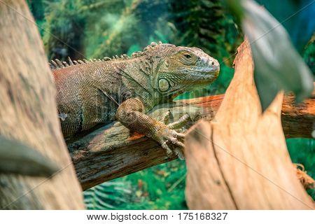 yellow iguana close up in the terrarium
