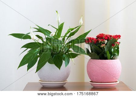 Spathiphyllum and Red Kalanchoe in the interior