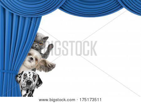 Cute dogs and cat hiding behind the curtain isolated on white