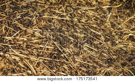 A huge anthill with big ants closeup