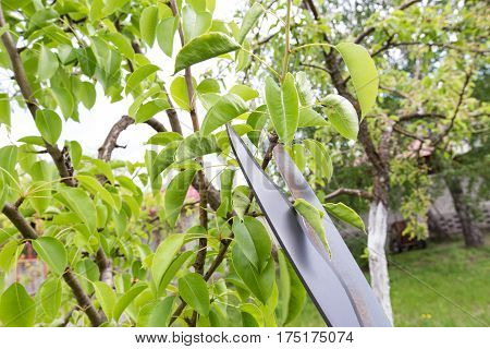 pruning shears trees. Horizontal flat, top view photo