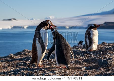 Gentoo Penguin Feeding Chick, Sea And Mountains In Background, South Shetland Islands, Antarctic