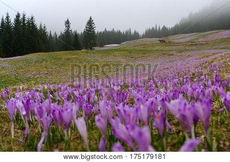 Crocuses on a mountain meadow. Tatry .