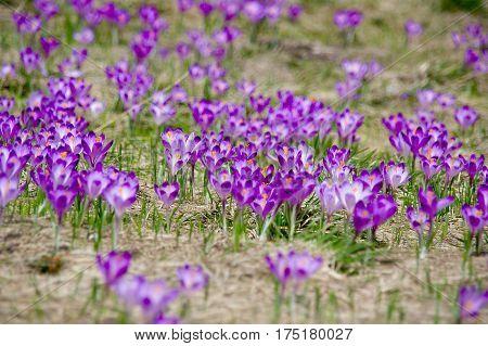 Spring crocuses on a mountain meadow. Tatry.