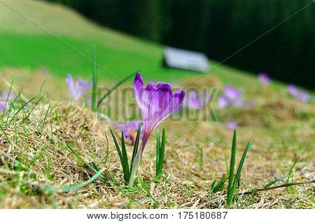 Spring crocus on a mountain meadow. Tatry.