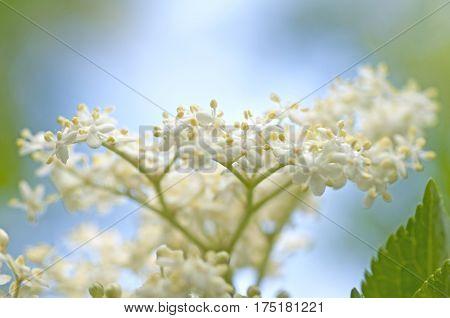Elderberry Blossom (sambucus)