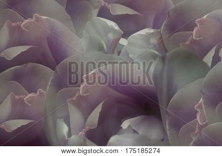White-violet-pink tulips flowers. Macro. Closeup. flower background. For design. Flower composition. Nature.