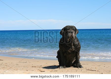 Neapolitan mastiff is sitting on the beach.