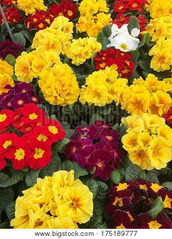 Colorful primroses in a nursery, yellow and red primroses
