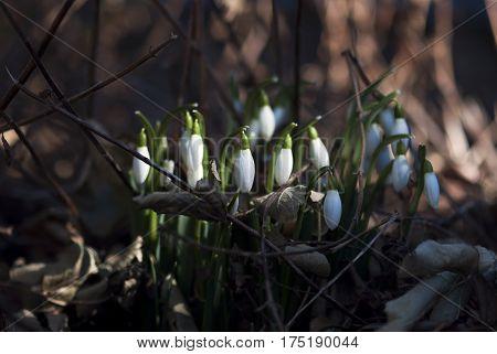 Snowdrop flower buds prepare to bloom in late winter.