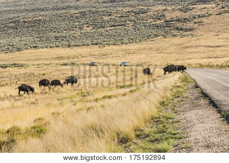 Family of bison attempting to cross the road while grazing near Great Salt Lake in Utah, USA.