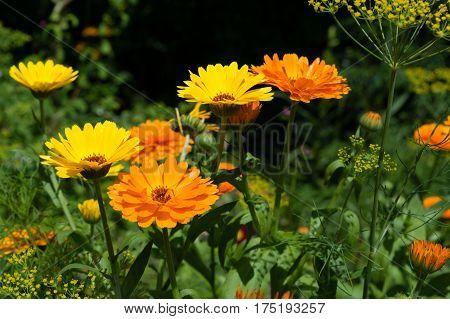 Calendula flowers lat. Calendula officinalis summer in garden