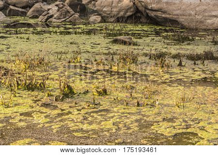 Barker Pond in Joshua Tree National Park with green algea