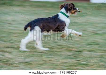 Panning of cocker spaniel running in mid air with stick on grass