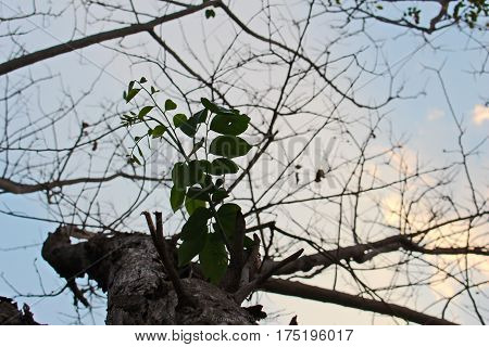 Silhouette of dry tree at sunset. Amazing view of dry tree trunk in silhouette at sunset in summer, yellow sun in blue sky,