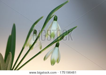 Snowdrops In Spring Isolated On  White Background