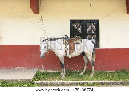 FEBRUARY 25 2017 - CHAPULTENANGO CHIAPAS MEXICO: A small white male horse with decorative leather saddle stands along the wall of a house in the village of Chapultenango in Chiapas Mexico