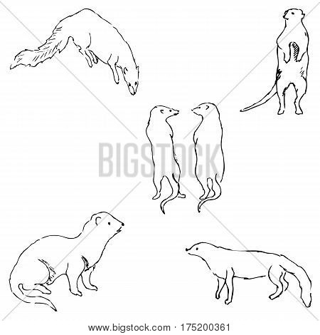 Mongoose. Sketch by hand. Pencil drawing by hand. Vector image. The image is thin lines.
