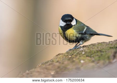 Bird - Great Tit (Parus major) on yellow background. Birds sitting on the root next to the feeder. Winter time.