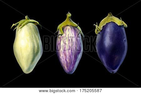Three cultivars of eggplant isolated on black background watercolor illustration