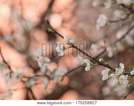Abstract Background Of Cheery Blosom Flower