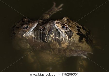 Three common frogs (Rana temporaria) mating. Group of frogs in a pond with female sandwiched between two males aiming to fertilize spawn