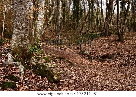 a view of La Fageda den Jorda, a forest of beech trees, in the Garrotxa Volcanic Zone Natural Park, in Olot, Spain