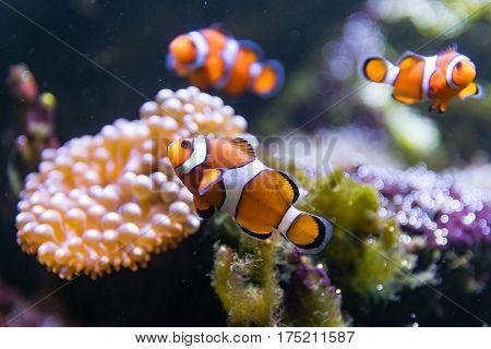 Clown fish (Amphiprion ocellaris) swimming around anemone. Group of orange and white fish around bubble-tip anemone (Entacmaea quadricolor) in aquarium
