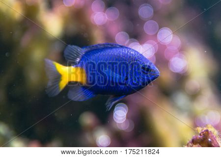 Yellowtail damselfish (Chrysiptera parasema). Popular saltwater aquarium fish from the Indo-Pacific in the family Pomacentridae aka yellowtail blue damsel and goldtail demoiselle