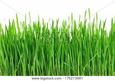 Fresh Green Grass, Sprout Of Wheat Isolated On White Background. Close Up.