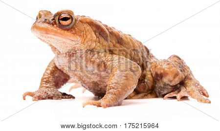 Common toad crawling over white background