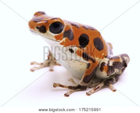 Poison dart frog from Red Frog Beach, Bocas del Toro, Panama. Tropical poisonous rain forest animal, Oophaga pumilio isolated on a white background.