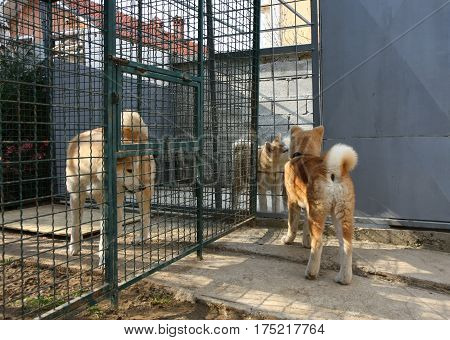 Curious Akita Inu puppy visiting his relatives