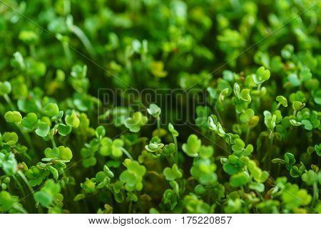 microgreen field