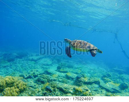Sea tortoise in water. Snorkeling in tropic lagoon. Wild turtle swimming underwater in blue tropical sea. Undersea photo with tortoise. Sea turtle in wild nature. Exotic island seashore with animal