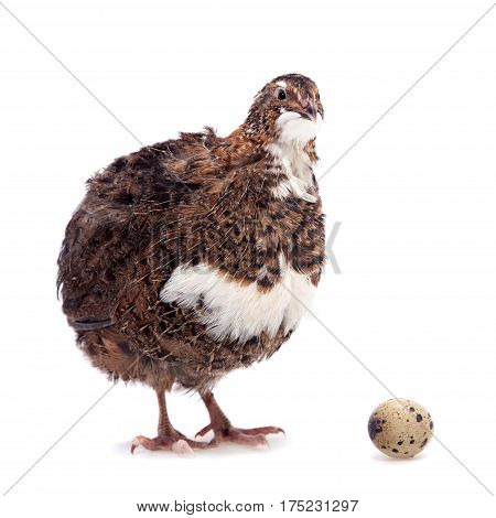The common quail, coturnix coturnix, with its eggs isolated on white background
