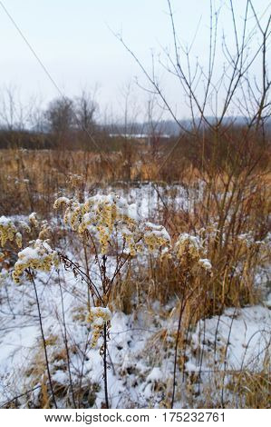 snow covered weeds on wilderness at the cold winter morning