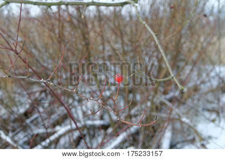 single red rowanberry on a leafless tree at the winter
