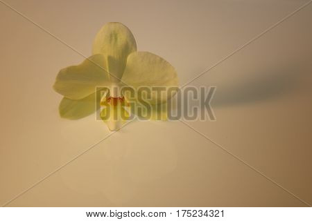 Orchid Blossom Isolated On Background