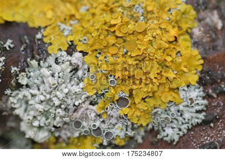 Beautiful lichen in bloom on the trunk of Apple tree. Close-up.