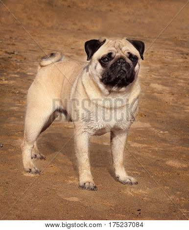Pug dog is a young thoroughbred stands on sand and looks into the distance