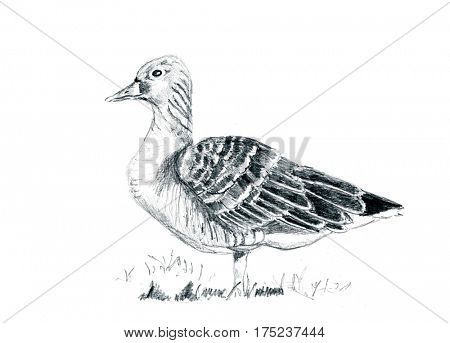 Pencil drawing goose isolated on white background