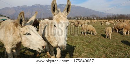 Donkeys With Long Ears In The Middle Of The Sheep Herd