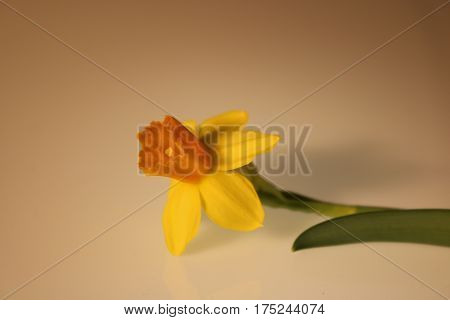 Beautiful Yellow Daffodils Isolated