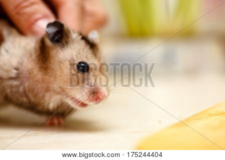 The Syrian Hamster, Big Eyes And A Mustache.