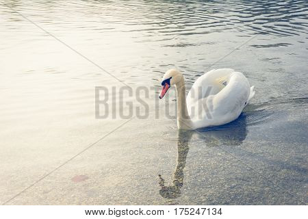 White swan. Majestic white swan. Graceful swan